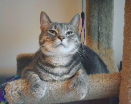 Olivia, polydactyl gray tabby kitten